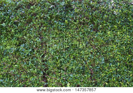 tiny green leaf trees are planted to a fence natural fence natural green background