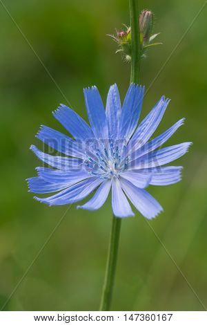 blue chicory flower on a green background