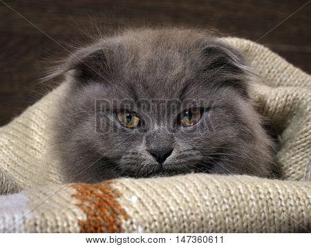 Funny kitten lying under a blanket. Grey Cat Fluffy Fold