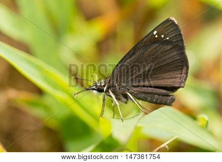 Ventral view of a tiny Common Sootywing butterfly resting on a blade of grass