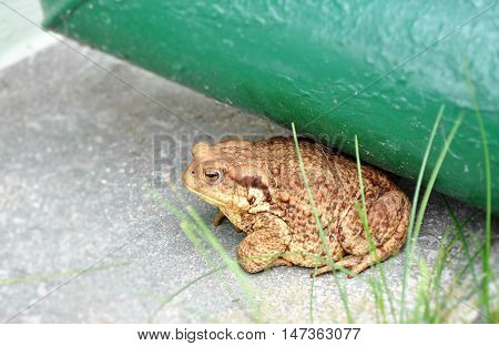 Big brown toad frog in the garden under the eaves