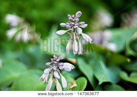 Abstract blurred purple hosta flowers on soft background of greeen leaves. Selective focus.