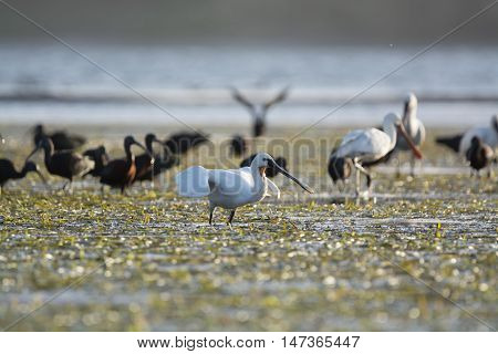 Eurasian Spoonbill migrated bird n the nile of Aswan Egypt