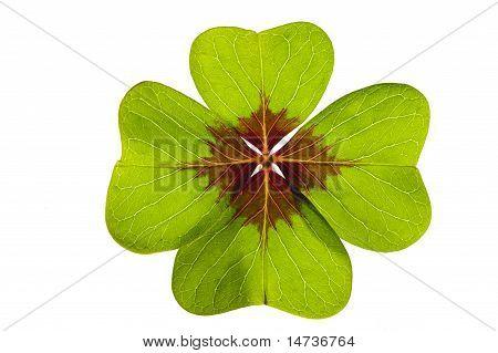 shamrock clover leaf
