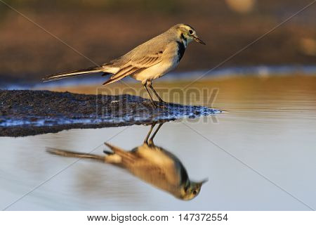 Cute young bird White Wagtail and reflection in water