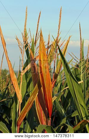 Corn as it begins to change from a green color to brown.