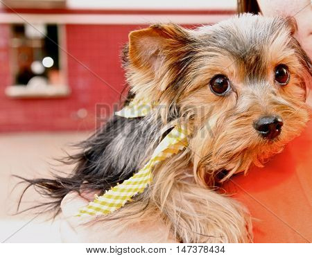 Close-up of beautiful terrier face with yellow bandana