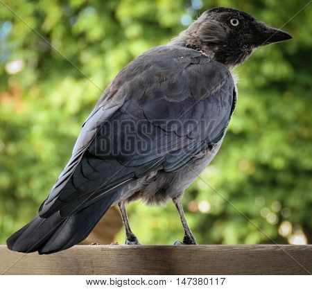 A crow is sitting watching on a wooden railing.