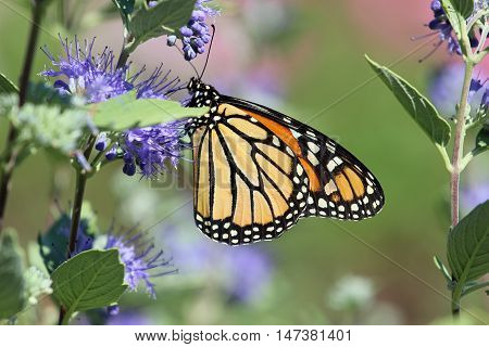 A Monarch butterfly feeding on the nectar of these purple flowers.