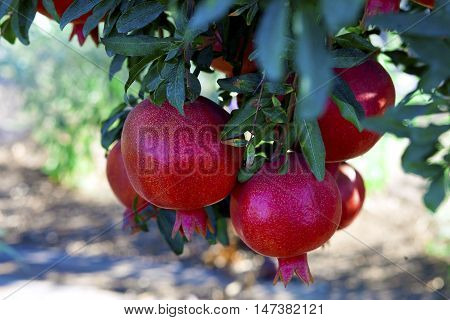 Bunch Of Ripe Pomegranates
