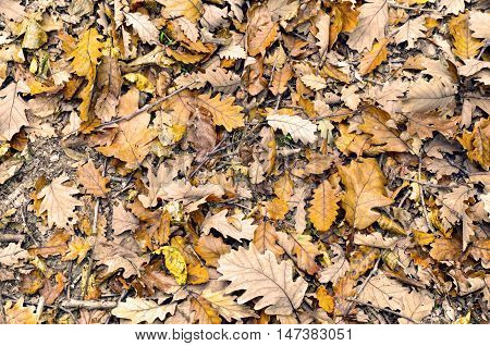 Autumn fallen dry leaves. Autumnal scene with yellow orange and red leaves. One of its main features is the shedding of leaves from deciduous trees.