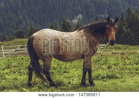 Roan Bay Stallion Grazing