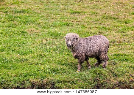 One Sheep In Green Farmland Meadow In Andes Mountains Ecuador South America