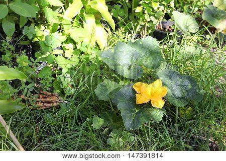 Pumpkin flower. beautiful yellow pumpkin flowers in the garden