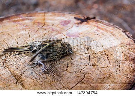 Photo of dead sparrow bird on stump