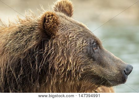 Portrait of a brown bear close up. Kurile Lake in Southern Kamchatka Wildlife Refuge in Russia.