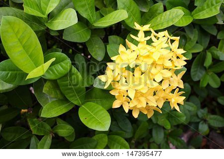 Yellow Flower spike Rubiaceae in a garden flower love women Life is the flower for which love is the honey.