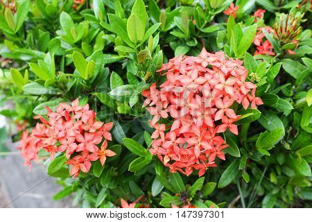 Red flower spike Rubiaceae  Ixora coccinea It is a flowering shrub native to Southern India and Sri Lanka in nature.