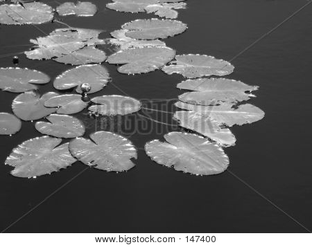 Budding Water Lilies (black & White)