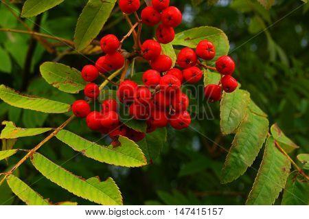 red rowan berries, harvest, plant, tree, nature, fall, season, rowan