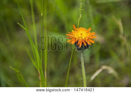 close-up single orange blossoming hawkweed at the meadow