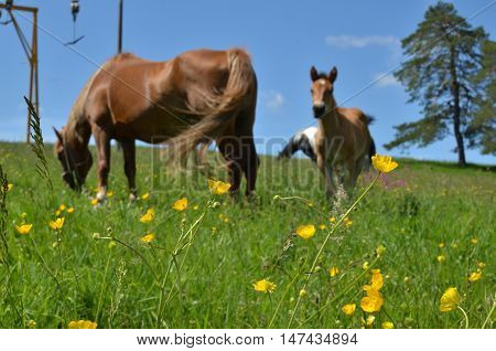 Field With Buttercups And Horses