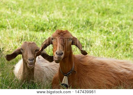 Goats mother and son relax ruminating in the green meadow. Sardinia.