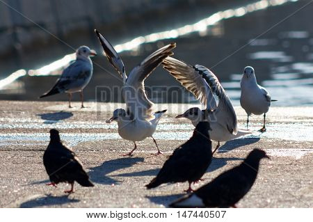 Black-headed Gulls And Pigeons