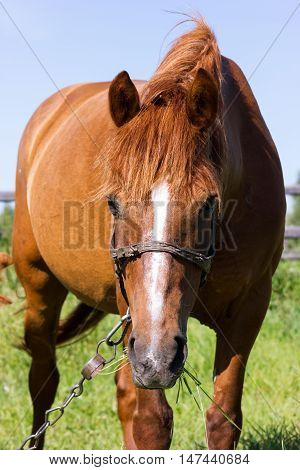 Horse Grazing On A Leash