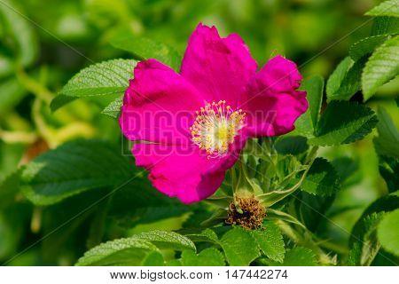 Flower Of Wild Rose