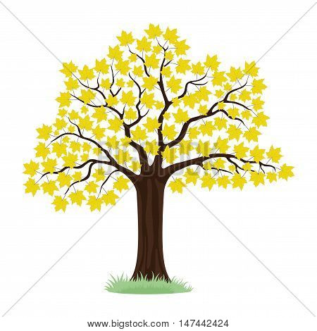 Maple tree with yellow leaves on a white background.