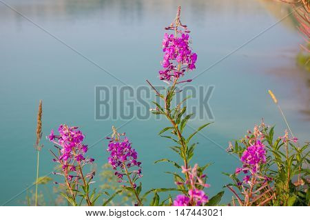 Beautiful Landscape Of Willow-herb And Lake, Uchta
