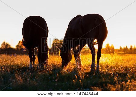 Silhouettes Of Horses On A Pasture In Rim Light