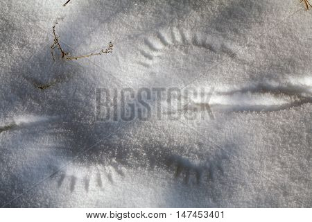 Traces Of The Wings On Snow