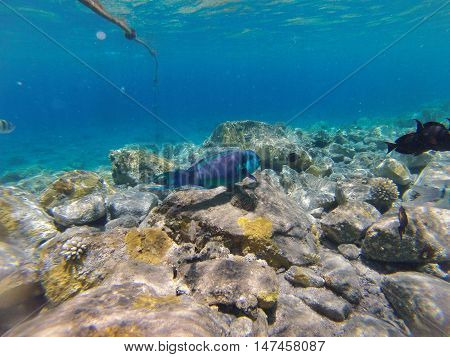 Underwater landscape on a shallow coral reef with parrotfish and calm water surface in the Red sea