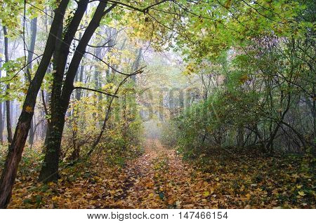 The road is covered with yellow fallen leaves. Road middle of autumn forest.