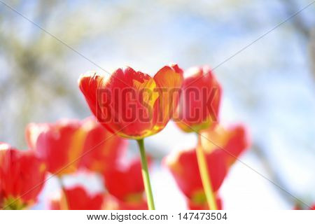The red tulips flowers in the sunny day.
