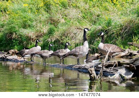 Group of Canadian Geese floating in a river on a log.