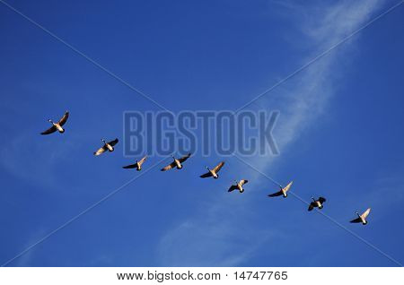 Canadian geese in flight over a blue sky
