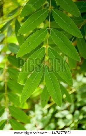 close up Senna siamea leaves in nature garden