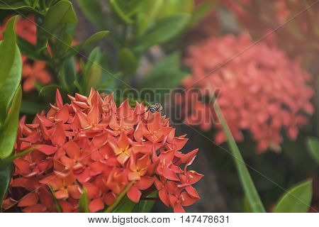 Bee On Red Spike Flower. Ixora Rubiaceae Stricta Flora In Thailand.