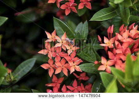 Bee On Red Spike Flower. Ixora Rubiaceae Stricta Flora In Thailand.
