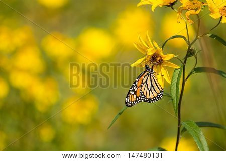 Monarch Butterfly feeding from Compass plants in a prairie in Wisconsin.