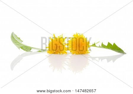 Dandelion background herbal remedy. Dandelion flower and leaves isolated on white background.