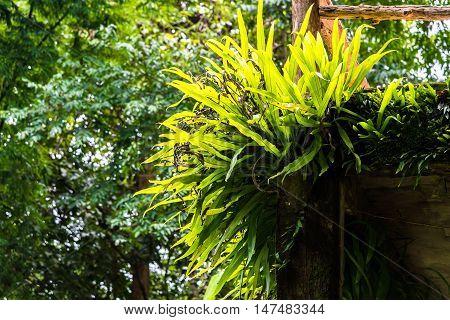 Beautiful Bird's nest fern on a concrete pole.