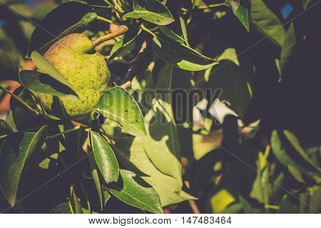 Small Pears On Branch