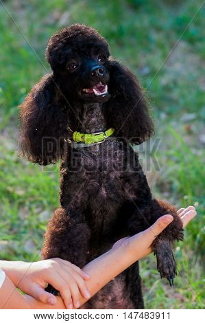 human hand and a black poodle on a background of green grass a summer day