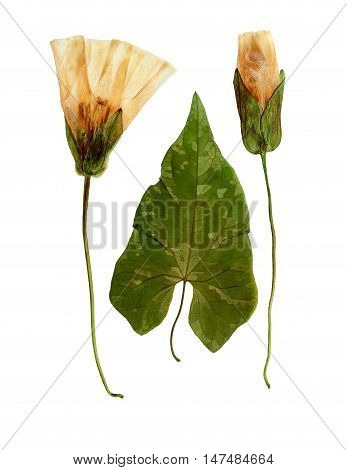 Pressed and dried flowers and leaves calystegia sepium. Isolated on white background. For use in scrapbooking floristry (oshibana) or herbarium.