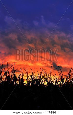 Corn field at sunset with colorful clouds