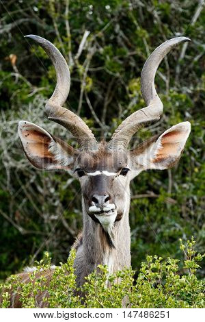 Grinding Your Teeth - Greater Kudu - Tragelaphus Strepsiceros